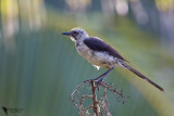 Mimidae - Mockingbirds, Thrashers