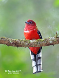 Red Headed Trogon (Male)