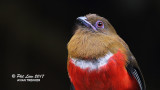 Red Headed Trogon (Female)