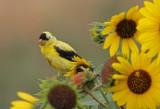 American Goldfinch 2016-08-28