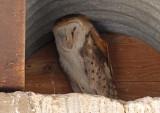 Barn Owl 2016-04-21