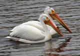 American White Pelican 2017-04-29