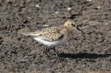 Baird's Sandpiper 2017-08-26