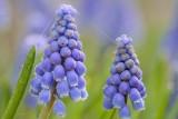 Blauwe druifjes 3