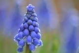 Blauwe druifjes 8