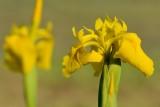 Gele lis2