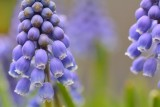 small gallery of grape hyacinths