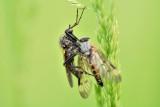 Grote dansvlieg met gewone snipvlieg als prooi