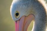 Australische pelikaan