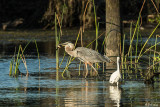 Great Blue Heron & Snowy Egret  11