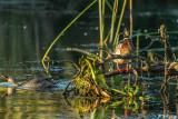 Mallard Ducks  11