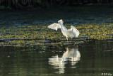 Snowy Egret  22