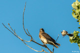 Swainsons Hawk  6