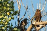 Swainsons Hawks  5
