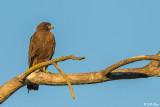 Swainsons Hawk  4