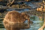 Beaver   12