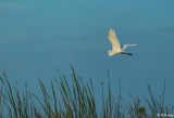 Great Egret  14