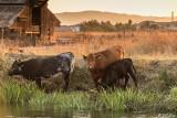 Kellogue Creek Cows  4