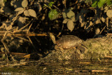 Pacific Pond Turtle  8