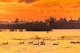 Canada Geese Sunset  2