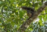Grey Squirrel  1