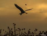 Great Blue Heron  15