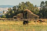 Kellogue Creek Cows  5