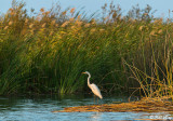 Great Egret  18
