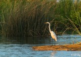 Great Egret  19