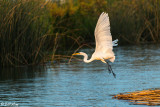 Great Egret  20