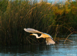 Great Egret  21