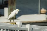Snowy Egret  25