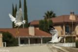 Snowy Egret & Gull  26