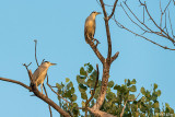 Black Crowned Night Herons  4