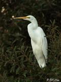 Snowy Egret  28