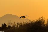 Great Blue Heron Sunset 13