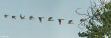 American Kestrel Composite  7
