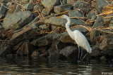 Great Egret  23