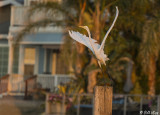 Great Egret  24