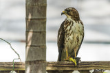 Broad-Winged Hawk with Green Iguana 8
