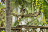 Broad-Winged Hawk with Green Iguana 10