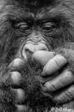 Mountain Gorilla grooming,  Kwitonda Gorilla Group B&W 1