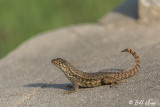 Curly-Tailed Lizard, Key West Cemetery  1