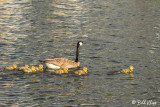 Canada Geese  35