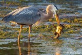 Great Blue Heron with catfish  1