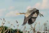 Great Blue Heron  28