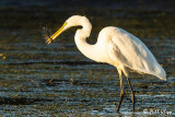 Great Egret with crayfish
