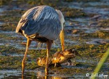 Great Blue Heron with catfish  2
