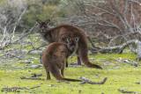 Kangaroos,  Kangaroo Island  2