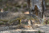 Yellow-Spotted Monitor Lizard,  Lizard_Island, Great Barrier Reef  1